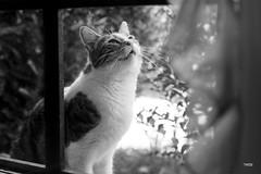 Le chat des voisins (S@titi) Tags: chat chats cat cats nosamislesbêtes noiretblanc blackandwhite fenêtre window atraverslafenêtre
