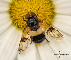 Great Pied Hoverfly (John Chorley) Tags: hoverfly hover greatpiedhoverfly nature macro macros macrophotography johnchorley 2019 outdoor yellow black white fly insects insect closeup closeups