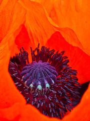 Mohn (Naturportal) Tags: panasonic dmcgx8 olympus m60mm f28 macro mohn makro blüte plants pflanze colors farben