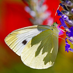 nectaring (1crzqbn) Tags: macro color nature bokeh cabbagewhite butterfly lavender outside sunlight shadows light inmygarden 1crzqbn