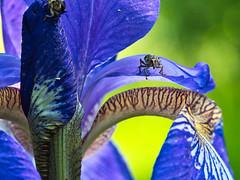 Rüsselkäfer (Naturportal) Tags: panasonic dmcgx8 olympus m60mm f28 macro rüsselkäfer makro