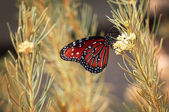 Queen Butterfly in Tucson (Stephen G Nelson) Tags: insect butterfly queenbutterfly botanicalgarden tucson arizona canoneosrebelsl1100d