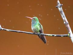 Rufous-tailed Hummingbird (Jenn Sinasac) Tags: rufoustailedhummingbird amaziliatzacatl amazilia hummingbird bird birding torti panama