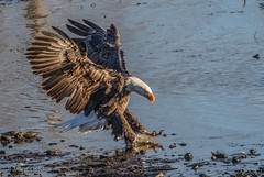 0P6A7491 - Touchdown (edhendricks27) Tags: baldeagle bird nature wildlife canon