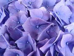 Blaue Hortensie (Bea tedo) Tags: hortensie blume blüte pflanze natur blau