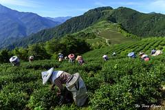 又是一季茶香_DSC8887N (何鳳娟) Tags: 茶園 採茶工 山岳 藍天白雲 風景 夜景 夏季茶 南投縣 武界