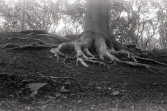tree roots (pho-Tony) Tags: contax1a zeiss ikon zeissikon tessar 5cm 50mm f28 dresden zeissikonagdresden broken faulty 1932 german germany rangefinder 35mm focalplaneshutter vintage film analog analogue iso 12 iso12 rodinal longexposure orwo np8 orwonp8 ma8 orwoma8