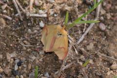 DSC_4458_Edit (Clive Webber) Tags: arctiidaebeervlinder butterfly cloudedbuff diacrisiasannio insect kanierislake kemeri latvia lepidoptera places roodbandbeer