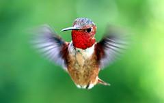 Rufous Hummingbird (Selasphorus rufus) (J.Thomas.Barnes) Tags: