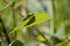 Rainette verte (Oric1) Tags: nature breizh france eos oric1 sigma côtesdarmor jeanluc molle sport 120300mm 22 canon brittany armorique bretagne jeanlucmolle rainette grenouille frog tiny green verte