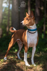 Picture of the Day (Keshet Kennels & Rescue) Tags: adoption dog dogs canine ottawa ontario canada keshet large breed animal animals kennel rescue pet pets field nature photography basenji pose handsome posture alert