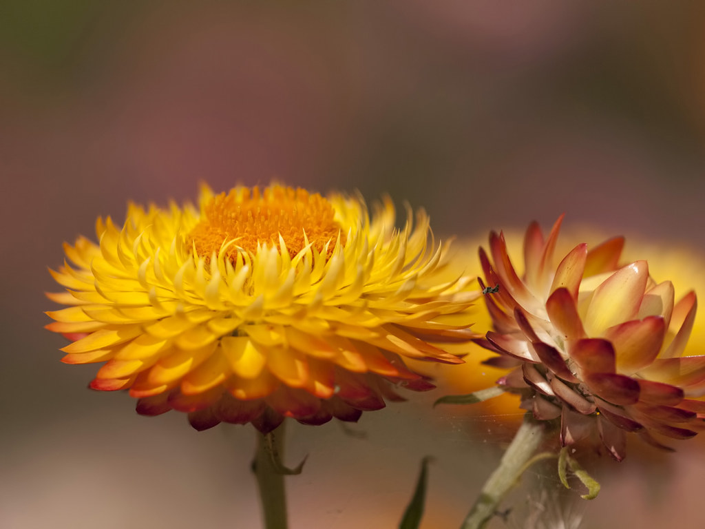 The World's Best Photos of flowers and helichrysum - Flickr