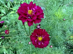 A Happy Couple (77ahavah77) Tags: flowers garden red blossoms bloom nature landscape outside maine