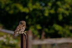 Klein, aber erfolgreich (cfowallburg) Tags: puszta athenenoctua hortobagy theissee ungarn steinkauz little owl