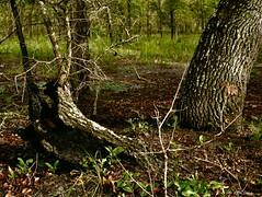 Oak Tree Trunk (surfcaster9) Tags: oaktree trunk florida forest lumixg7 lumix25mmf17asph nature outdoors woods stump