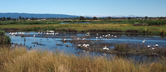 Pelican Central (LeftCoastKenny) Tags: baylandsnaturepreserve shorelinepark pelicans birds sanfranciscobay water mountains brush grass
