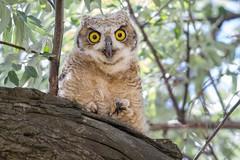 Juvenile Great Horned Owl (mavourneens) Tags: photography nature utah wildlife animal photo greathornedowl owl yellow brown tan white tree branches juvenile baby