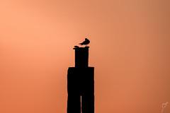 Bird on the outlook (wardkeijzer_107) Tags: tamron dutch holland light sunset silhouette bird birds brouwersdam orange nikon netherlands zuidholland composition shore simplicity minimalism