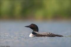 Common Loon (Daniel Cadieux) Tags: loon commonloon breedingplumage pond lake ottawa wilderness wildlife swim swimming