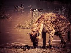 SPOTTED HYENA AT WATERS EDGE (eliewolfphotography) Tags: hyena spottedhyenas spottedhyena africa african africananimals wildlife wildlifephotographer wildlifephotography animals creative conservation conservationphotography nature naturephotography ngorongoro tanzania photosafari