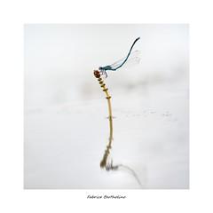 L'acrobate (bertholino fabrice) Tags: fabricebertholino macro proxy agrion libellule odaonates dragonfly eau reflet sigma150macrooshsm nikond600 carré nature environnement biodiversité