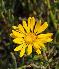 Gumplant (LeftCoastKenny) Tags: baylandsnaturepreserve shorelinepark flower wildflower