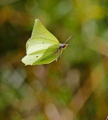 P1940552 - fliegender Zitronenfalter -- (Bine&Minka2007) Tags: zitronenfalter butterfly insekten insects natur makro macro schmetterlinge fliegendeinsekten
