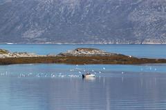Boat attacked by Seabirds, Nuuk, Greenland, Denmark, North America (Miraisabellaphotography) Tags: nuuk greenland nature travel adventure travelling august2019 sea boat seabirds birds