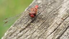 Sympétrum sanguin (sympetrum sanguineum) mâle (pierre.pruvot2) Tags: dragonfly odonate libellule insecte arthropode panasonic lumixg9 olympus60mmmacro france pasdecalais maraisdeguînes chemindestêtards