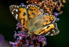 DSC1385  Painted Lady... (Jeff Lack Wildlife&Nature) Tags: paintedlady butterflies butterfly lepidoptera insects insect wildlife wetlands woodlands woodland wildlifephotography wildflowers jefflackphotography summermigrant nectaring naturephotography nature countryside copse flowers parklands moorland marshland marshes meadows moors macro heathland hedgerows heathlands heaths glades grasslands