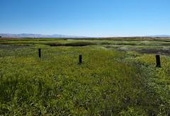 Goodbye Marsh (LeftCoastKenny) Tags: baylandsnaturepreserve shorelinepark marsh grass poles sanfranciscobay