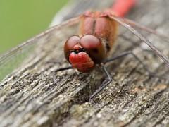 Sympétrum sanguin (sympetrum sanguineum) mâle (pierre.pruvot2) Tags: dragonfly odonate insecte libellule arthropode macro olympus60mmmacro panasonic lumixg9 france pasdecalais maraisdeguînes chemindestêtards