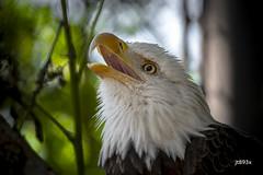 Bald Eagle (jt893x) Tags: 150600mm baldeagle d500 eagle haliaeetusleucocephalus jt893x nikon nikond500 portrait raptor sigma sigma150600mmf563dgoshsms thesunshinegroup coth alittlebeauty coth5
