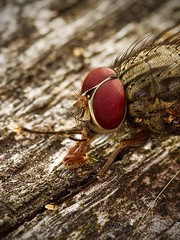 Gros plan de mouche grise (pierre.pruvot2) Tags: macro olympus60mmmacro fly mouche diptère insecte arthropode panasonic lumixg9 france pasdecalais maraisdeguînes chemindestêtards