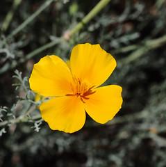 Poppy (LeftCoastKenny) Tags: baylandsnaturepreserve shorelinepark flower wildflower