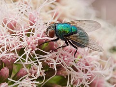 Lucilie soyeuse (lucilia sericata) femelle (pierre.pruvot2) Tags: mouche fly diptère insecte arthropode panasonic lumixg9 olympus60mmmacro france pasdecalais guînes macro