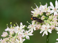 Melanogaster nuda (syrphidés) (pierre.pruvot2) Tags: fly mouche diptère insecte arthropode macro olympus60mmmacro panasonic lumixg9 france pasdecalais guînes jardin garden
