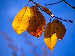 Sour cherry leaves (Raoul Pop) Tags: autumn fallfoliage home medias nature outdoors time transilvania