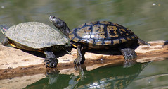 4 Startled Meditation Students (Kaptured by Kala) Tags: turtle redearedslider trachemysscriptaelegans waterturtle log reptile basking sliders whiterocklake aquaticturtle dallastexas maleturtle closeup meditation melanistic sunsetbay femaleturtle femaleredearedslider melanisticturtle maleredearedslider melanisticmaleredearedslider