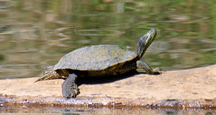 1 Meditation Instructor (Kaptured by Kala) Tags: trachemysscriptaelegans redearedslider waterturtle turtle aquaticturtle whiterocklake dallastexas sliders reptile basking log maleturtle closeup maleredearedslider sunsetbay meditation femaleturtle femaleredearedslider melanisticturtle melanistic melanisticmaleredearedslider