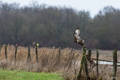 20181221__Buse variable (thadeus72) Tags: accipitridae accipitridés accipitriformes aves birds busevariable buteobuteo commonbuzzard oiseaux cheval