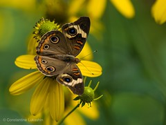 Common Buckeye Butterfly (Constantine L.) Tags: 200mm canon flower insect nature butterfly 7d