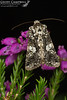 Marbled Coronet (Hadena confusa) (gcampbellphoto) Tags: marbled coronet hadena confusa moth insect invert macro north antrim gcampbellphoto nature wildlife
