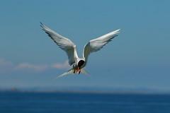 Arctic terns (jon lees) Tags: farne islands northumbria uk england island bird arctic tern seabird colony flight
