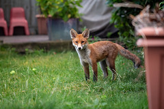 #29 - Fox (Richard Forward) Tags: fox urban animal london garden vulpes