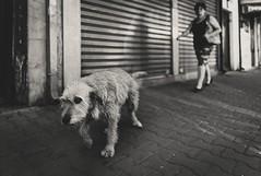 Hunting for goodnes (Pavel Valchev) Tags: mc11 sigma art 24mm 14 street serbia pirot sony ilce a7m3 a7iii nex emount adapted photoshop rni lightroom dog