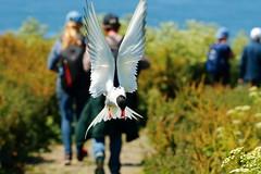 Arctic terns (jon lees) Tags: farne islands northumbria uk england island bird arctic tern seabird colony flight h