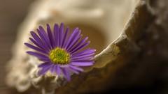 Calm (John A. McCrae) Tags: flower seashell macro tamron90mmmacro pentaxk5