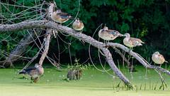 IMG_2400 (brian.a.stamper) Tags: aixsponsa animal bird woodduck stlouis missouri unitedstatesofamerica
