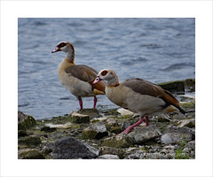 Egyptian geese (prendergasttony) Tags: bird feet nature water wings nikon northwest wildlife border birding beak feathers lancashire colourful birdwatching avian pennington d7200